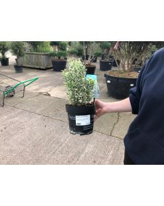 Euonymus Emerald Gaiety 10 Litre Pot