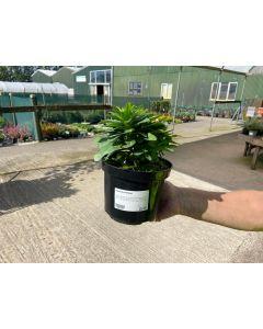 Euphorbia Robiae 2 Litre Pot
