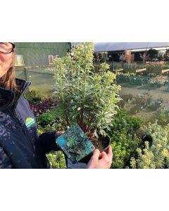 Euphorbia Silver Swan 2 Litre Pot