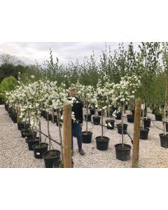 Exochorda x Macrantha The Bride 1/2 Standard 10 Litre