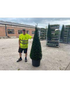 Yew Cone 45 Litre Pot 150/160cm