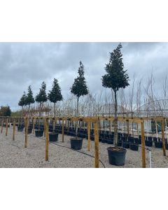 Magnolia Grandiflora Gallisoniensis Heavy Standard 18/20cm G 150 Litre Pot