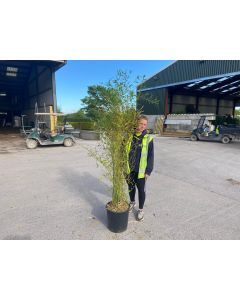 Bamboo Phyllostachys Aurea 25 Litre Pot 180-200cm