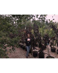 Fagus Sylvatica Purple Fountain 40 Litre Pot