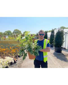 Fatsia Japoncia Spiders Web 10 Litre Pot
