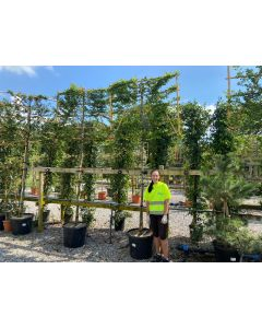 Carpinus B. Pleached 12/14 Girth Full Standard 120x150cm 70 Litre