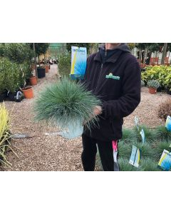 Festuca Glauca Intense Blue 5 Litre Pot
