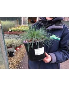 Festuca Glauca Intense Blue 3 Litre Pot