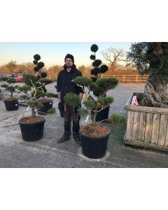 Pinus Sylvestris Watereri Bonsai 90 Litre Pot