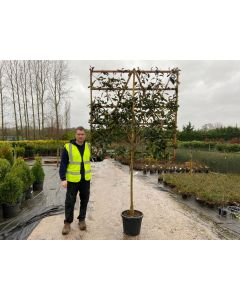 Photinia Red Robin Pleached 1/2 Standard 150x150cm Panel On 100cm Stem