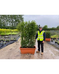 Sweet Bay Laurel  Planted Screen 1 metre long x 1.6 Metre Tall (inc planter)