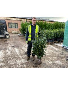 Laurel Genolia Hedging Root Ball 80/100cm Digging Now