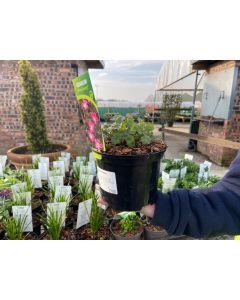 Geranium Orkney Cherry 2 Litre Pot