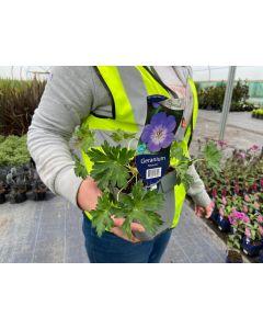 Geranium Hybrid Rozanne flowers
