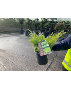 Juniperus med.Old Gold 5 Litre Pot