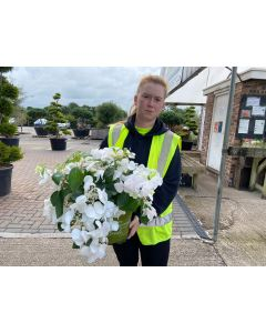 Hydrangea mac. Runaway Bride Snow White 6 Litre Pot