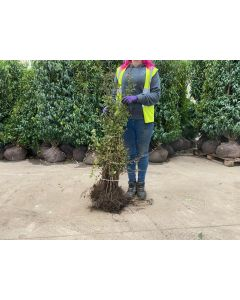 Hawthorn Hedging Bare Root 40-60 cm