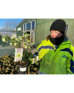 Helleborus Mollys White 1.5 Litre Pot