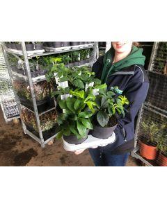 Helleborus Orientalis Mix 8 x 14cm
