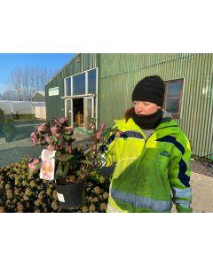 Helleborus Pennys Pink 3 Litre Pot