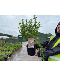 Escallonia Apple Blossom 4.5 Litre Pot