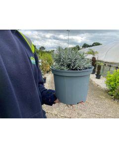 Lavender Angustifolia Hidcote 5 Litre Pot