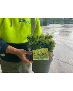 Pinus Mugo Ophir 7.5 Litre Pot