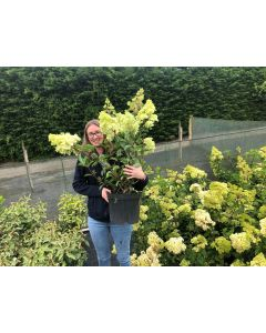 Hydrangea Paniculata Vanille Fraise 10 Litre