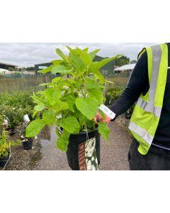 Hydrangea Arborescens Annabelle 4.5 Litre Pot