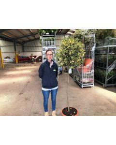 Ilex Aquifolium ArgenteaMarginata 1/2 Standard 25 Litre Pot 110cm Stem