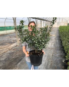 Ilex Blue Angel 10 Litre