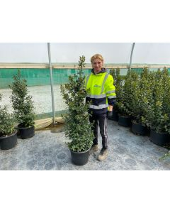 Ilex Meserveae Blue Maid Root Ball 80/100cm