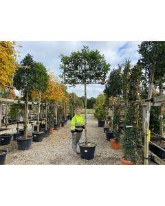 Ilex Nellie Stevens Full Std 80 Litre Pot 14-16cm Girth 100x150cm