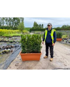 English Yew Planted Screen 1 metre long x 1.4 Metre