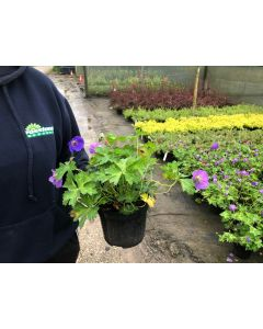 Geranium Hybrid Rozanne 2 Litre Pot
