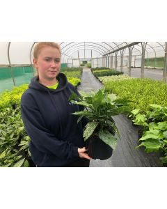 Aucuba Japonica Crotonifolia 4.5 Litre Pot