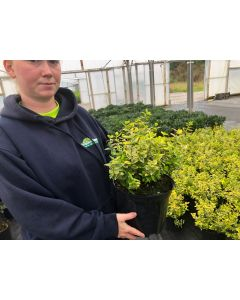 Euonymus Emerald & Gold 5 Litre Pot