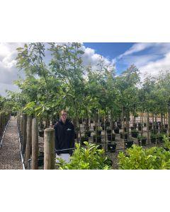 Quercus Rubra 30 Litre