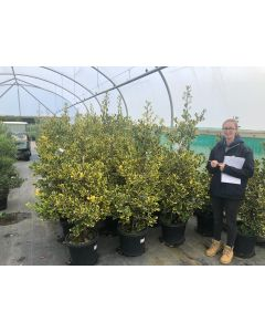 Ilex Gold King Root Ball 80/100cm