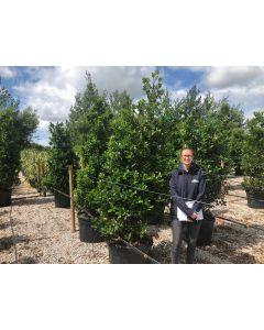 Holly Aquifolium Root Ball 190/200cm Extra Heavy Specimen