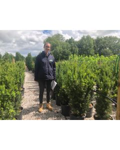 Yew Hillii Hedging Root Ball 80-100cm Pre Order
