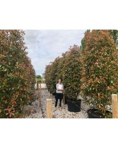Photinia Red Robin 230 Litre Pot 300cm+