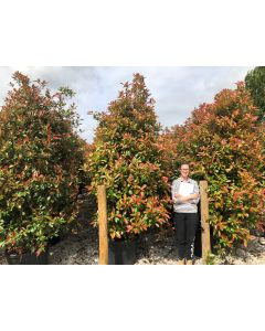 Photinia Red Robin 110 Litre Pot 250/270cm