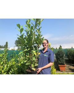 Laurel Hedging 7.5 Litre Pot 100/120cm