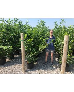Laurel hedging 25 Litre Pot Grown 130-140cm
