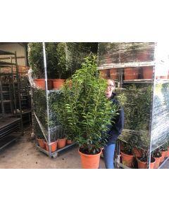 Prunus Lusitanica Myrtifolia 4.5 Litre