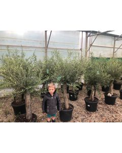 Olea Europea Ball on Thick Stem 35 Litre Pot