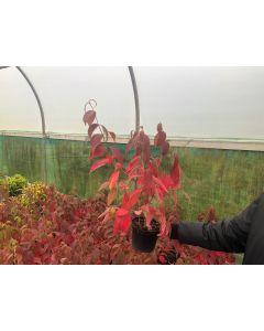 Viburnum plicatum Mariesii Great Star 2 Litre Pot