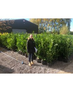 Laurel Hedging 15 Litre Pot 130-140cm