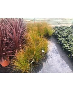 Carex Testacea Prairie Fire 2 Litre Pot